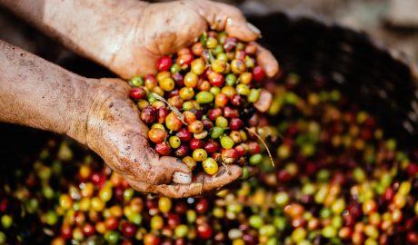 Świeże ziarna kawy